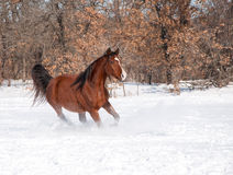 Red bay horse running in snow Royalty Free Stock Images