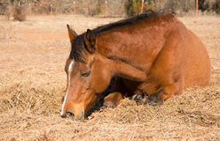 Red bay horse sleeping on hay in winter. Pasture on a sunny day Stock Photo