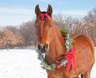 Red bay horse wearing a Christmas wreath royalty free stock photography