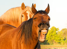 Red bay horses yawning, looking like he is laughing Royalty Free Stock Photos
