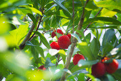 Red bayberry Royalty Free Stock Photography