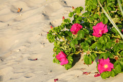 Red beach roses Stock Photo