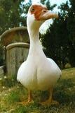 Red Beak Duck Stock Photo
