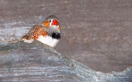 Red beaked bird on a rock Royalty Free Stock Photos