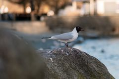 Black Headed Gull sits staring out during an early morning at Lake Windermere - Cumbria, UK - March 2019 royalty free stock images