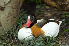 Red beaked duck resting Royalty Free Stock Photo