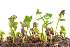 Red bean seedling. Growing nursery pots on a white background Stock Photo
