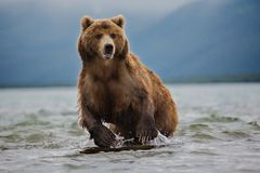 Red bear on a fishing trip Stock Images