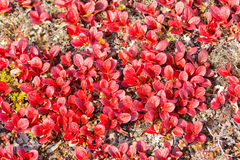 Red Bearberry Arctous rubra shiny fall leaves Stock Photo
