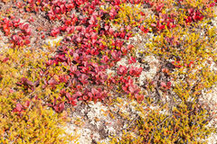 Red Bearberry Arctous rubra shiny fall leaves Royalty Free Stock Photography