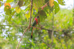 Red beard bird perching on the tree Royalty Free Stock Photo