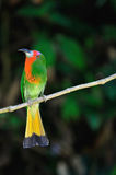 Red bearded Bee eater Royalty Free Stock Image