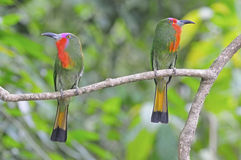 Red-bearded Bee-eater Royalty Free Stock Image