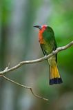 Red-bearded Bee-eater Stock Photography