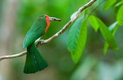 Red-bearded Bee-eater Stock Images