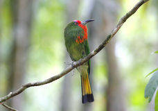 Red-bearded Bee-eater Nyctyornis amictus Royalty Free Stock Images