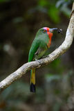 Red-bearded Bee-eater (Nyctyornis amictus) Royalty Free Stock Photos