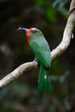Red-bearded Bee-eater (Nyctyornis amictus) Stock Images