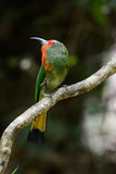 Red-bearded Bee-eater (Nyctyornis amictus) Royalty Free Stock Photography
