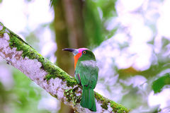 Red Bearded Bee Eater. Nyctyornis amictus found in Indonesia & malaysia royalty free stock images