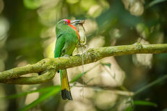 Red-bearded Bee-eater Royalty Free Stock Photography