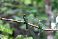 Red-bearded Bee-eater Royalty Free Stock Photo