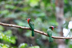 Red-bearded Bee-eater Royalty Free Stock Images