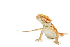 Red Bearded Dragon Stock Image