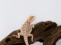 Red bearded dragon Royalty Free Stock Photography