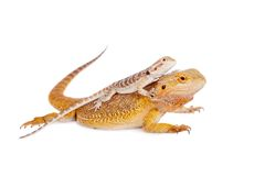 Red Bearded dragon with baby on her back Stock Photos