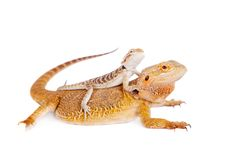 Red Bearded dragon with baby on her back Stock Photography