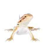 Red Bearded dragon, Pogona vitticeps, on white Stock Images