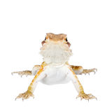 Red Bearded dragon, Pogona vitticeps, on white Royalty Free Stock Images