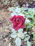 Red beauti pic. Red rose in the morning royalty free stock image