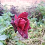 Red beauti pic. Red rose in the morning royalty free stock images