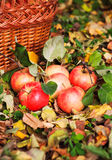 Red beautiful apples Royalty Free Stock Images