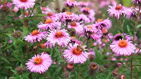 Red beautiful asters in the garden stock video footage