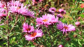 Red beautiful asters in the garden stock video