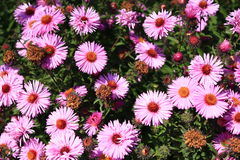 Red beautiful asters in the garden Royalty Free Stock Images