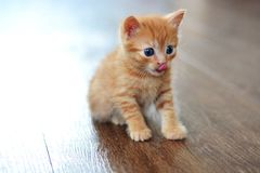 Red beautiful cat sits with opened eyes on a brown floor and looks in front. Red beautiful cat sits with opened blue eyes on a brown floor and looks in front stock photos