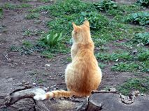 Red beautiful cat sits thoughtfully near the stump of a tree stock images