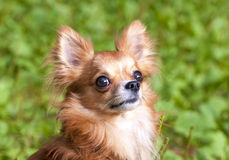 Red beautiful chihuahua dog portrait Stock Images