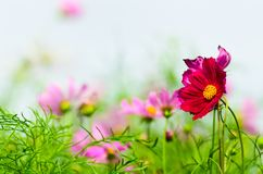Red beautiful cosmos flower Stock Images