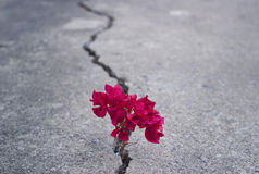 Red beautiful flower growing on crack street Royalty Free Stock Photo