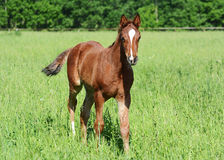 The red beautiful foal goes Royalty Free Stock Photo