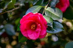 Camelia or Japanese rose royalty free stock image