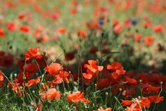 Red beautiful poppies background, maltese peprina. Poppies in spring time Royalty Free Stock Images
