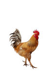 Red beautiful rooster strutting Stock Images