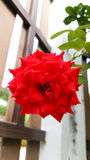 Red beautiful rose in garden Royalty Free Stock Photos