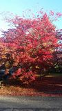 Red beautiful tree at the fall season Stock Image